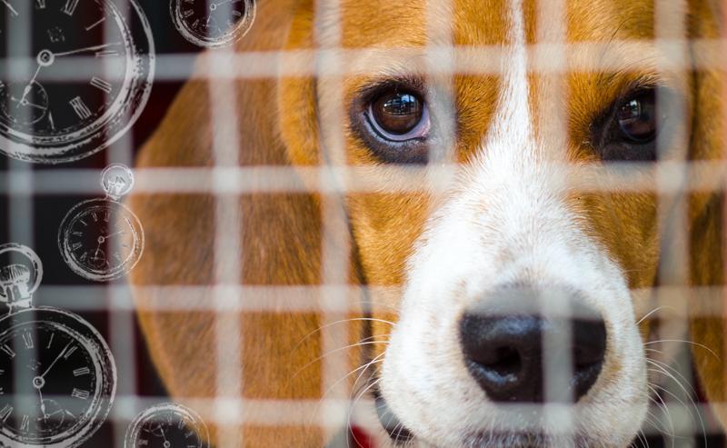Sad beagle in cage